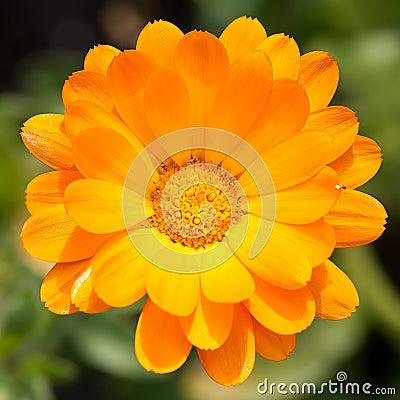 Free Pot Marigold Royalty Free Stock Images - 22007679