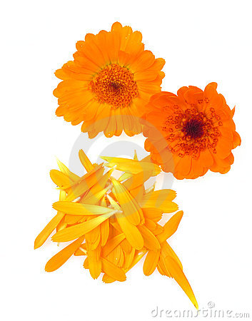 Pot marigold herb isolated