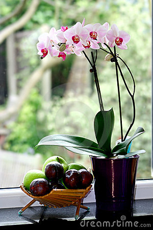 A pot of moth orchid