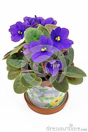 Pot with violet violets