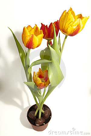 Pot of Yellow and Red Tulip