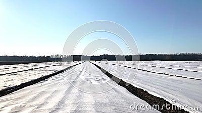 Potatisodlingar på tidiga vårfält täckta med spritborgsagrofiber Växthuseffekt Jordbruksteknik inom jordbruket arkivfilmer