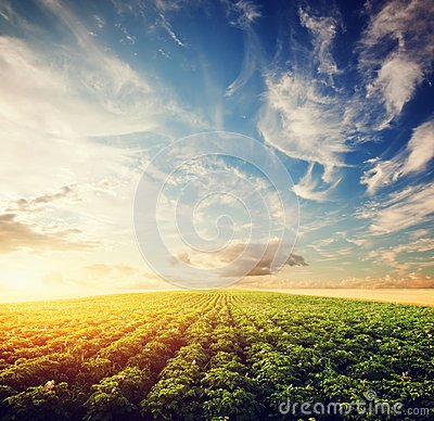 Free Potato Crop Field At Sunset. Agriculture, Cultivated Area, Farm Royalty Free Stock Images - 57359959