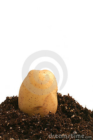 Potato on dirt