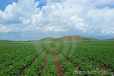 Potato-field