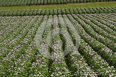 Potato Field in Blossom