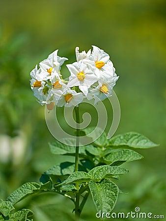Free Potato Flower Royalty Free Stock Photos - 10258548