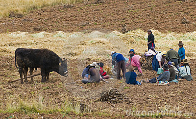 Potato harvest Editorial Stock Photo