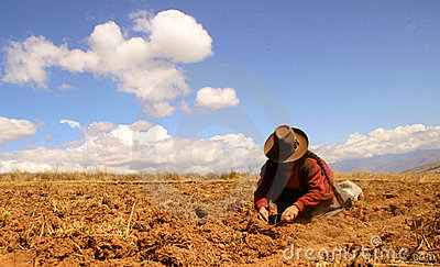 Potato Harvest in the Andes