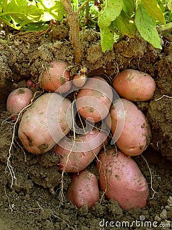 Free Potato Plant With Tubers Stock Photo - 37727450