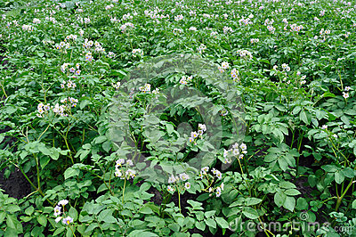Potato plantation - blooming vegetables