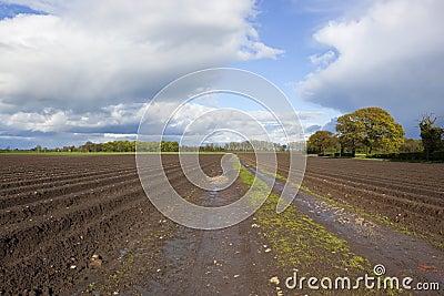 Potato rows in springtime