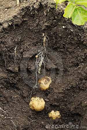 Free Potato Swift (first Early) Growing In The Ground. Stock Photos - 21131993