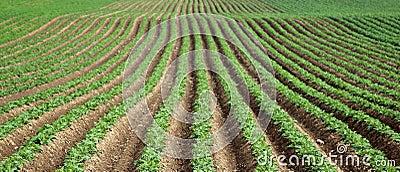 Potatoes in a field