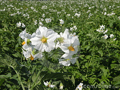 Potatoes flower