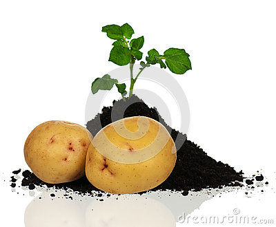 Potatoes with sprout