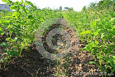 Potatoes in a sunny garden