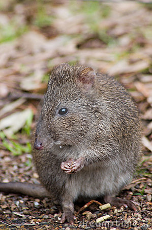 Free Potoroo Eating A Pellet Stock Photography - 1051162