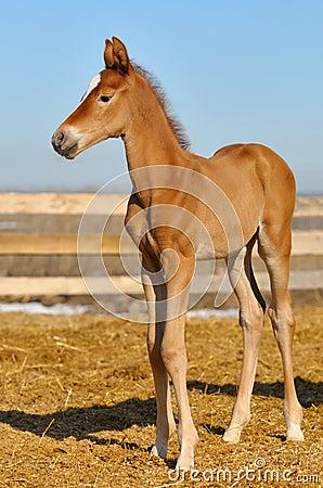 Potro recién nacido del alazán - solamente 5 días