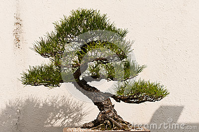 Potted Bonsai Tree