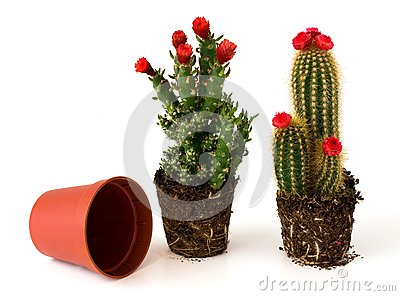 Potted cacti with flowers