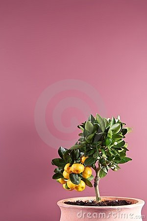 Potted citrus tree with fruit