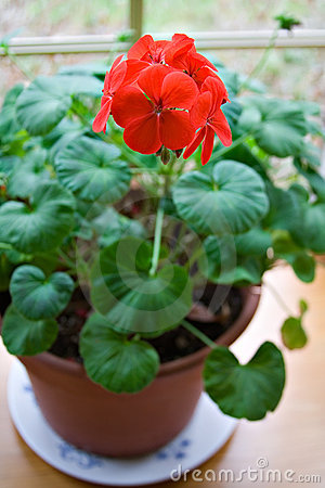 Potted Geranium Royalty Free Stock Photography - Image: 2093067