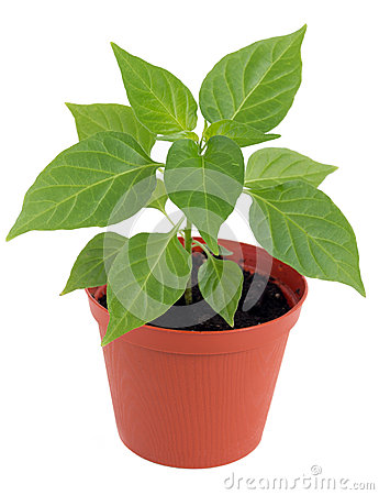 Free Potted Hot Pepper Young Plant Growing Royalty Free Stock Image - 53767576