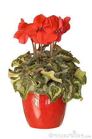 Potted houseplant red cyclamen