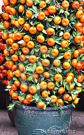 Potted kumquat trees