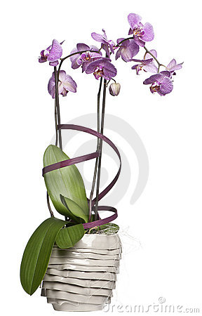Potted orchid flowers