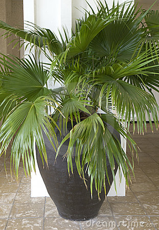 Potted Palm Tree Stock Images Image 12968664