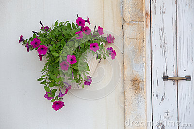 Potted petunia on the white wall