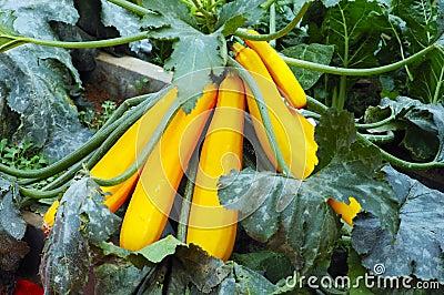 Potted plant cushaws