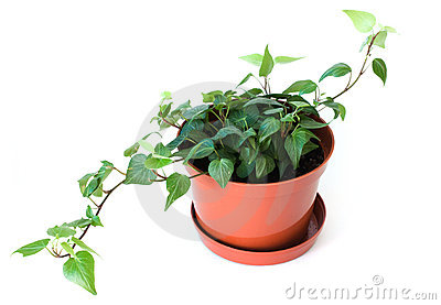 Potted plant isolated on white