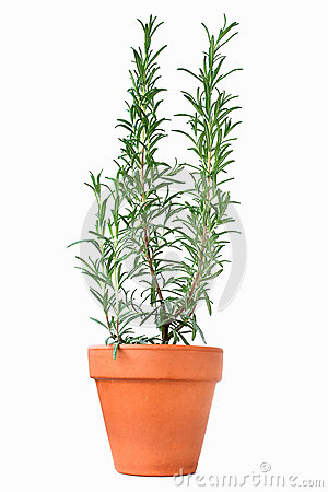 potted rosemary plant stock photos image 33280823