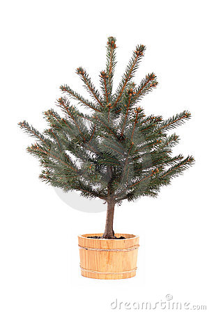 Potted spruce tree