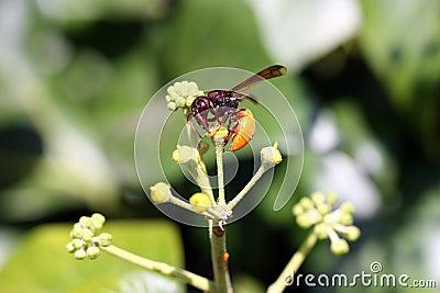Potter Wasp (Tricarinodynerus Guerinii)