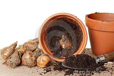 Potting daffodil bulbs
