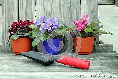 Potting violets