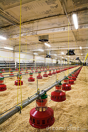 Free Poultry Farm Royalty Free Stock Images - 4971359