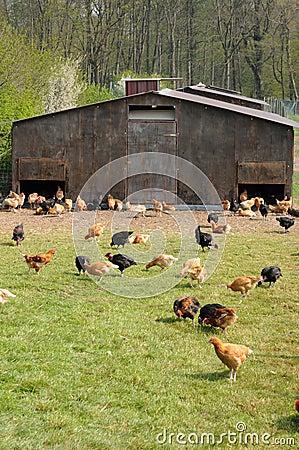 Poultry farming in Brueil en Vexin