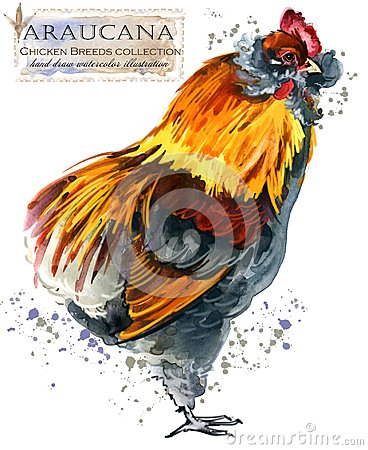 Free Poultry Farming. Chicken Breeds Series. Domestic Farm Bird Royalty Free Stock Photo - 111469945