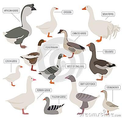 Free Poultry Farming. Goose Breeds Icon Set. Flat Design Stock Photo - 81447500