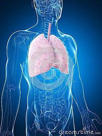 Poumon mâle