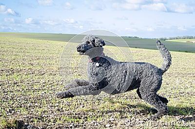 Pouncing Poodle against outdoor landscape