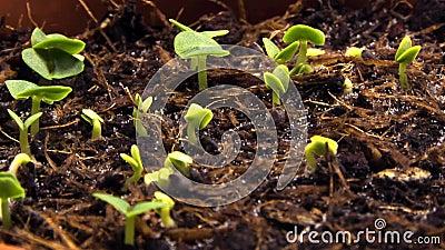 Pousses de germination