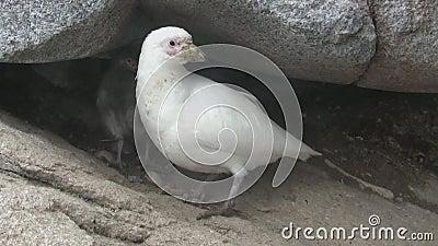 Poussin femelle et duveteux de sheathbill de Milou près du nid parmi les roches de l'île antarctique clips vidéos