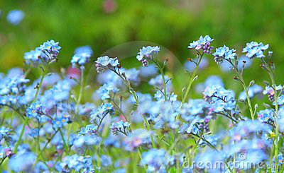 Powder blue forget-me-not