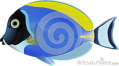 Powder blue Surgeon-fish
